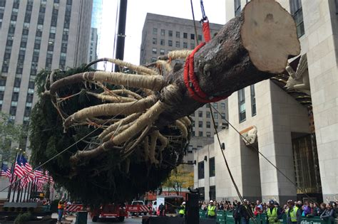 video famed rockefeller center christmas tree is hoisted