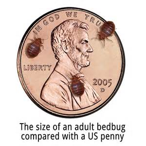 how big do bed bugs get what do bed bugs look like