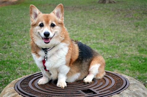 royal puppy the pembroke corgi a truly royal breed gt puppy toob