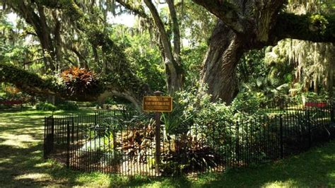 Sugar Mill Botanical Gardens Confederate Oak Picture Of Dunlawton Sugar Mill Gardens Port Orange Tripadvisor