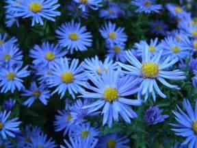 Blue flowers free stock photo public domain pictures