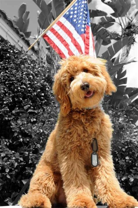 doodle puppy cut de 25 bedste id 233 er inden for goldendoodle grooming p 229