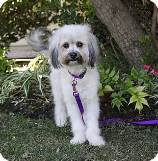 havanese and poodle mix cyndi adopted newport ca havanese poodle miniature mix
