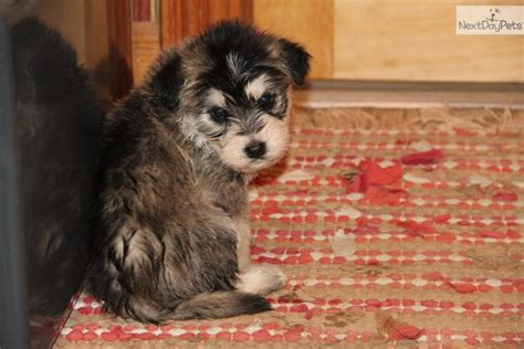 siberpoo puppies for sale mixed other puppy for sale near bowling green kentucky 29e0122f ceb1