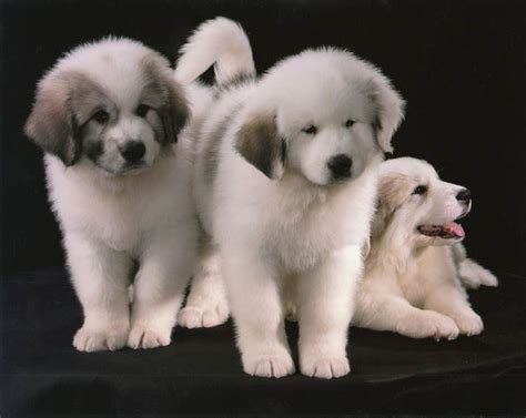 grand pyrenees puppies great pyrenees for the home