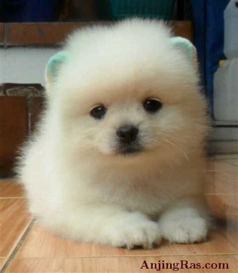 Jual Jual Anjing Maltese Kaskus gambar gambar anjing mix pom gambarmantap image result