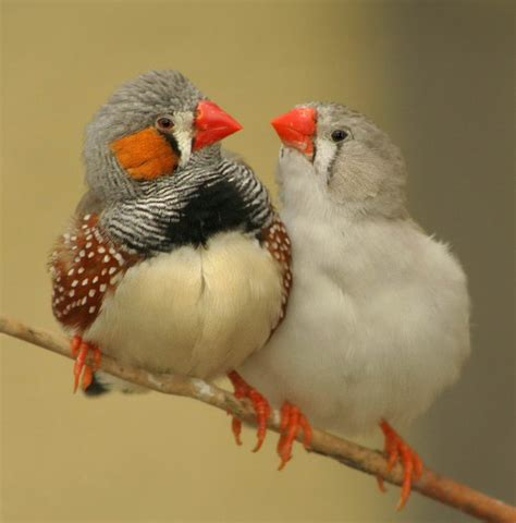 types of finches different types of finches
