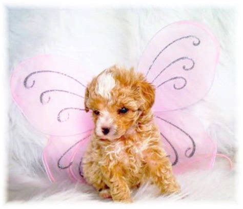 springerdoodle puppies for sale ontario miniature poodles for adoption