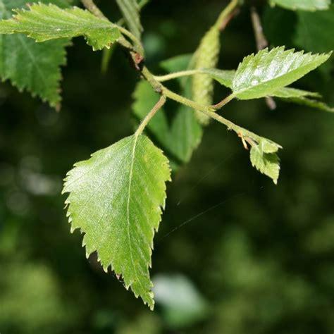 leaf pattern windbreak 8 best 286 alphabet initial letter beginning of 16th