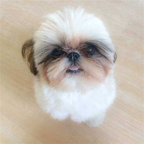cage for shih tzu shih tzu ceili fur babies bar so and search