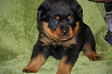 rottweiler puppy names rottweiler breed puppy pictures names breeders for breeds picture
