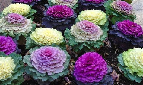 ornamental cabbage buy plants deal brassica ornamental cabbage plants 13 off