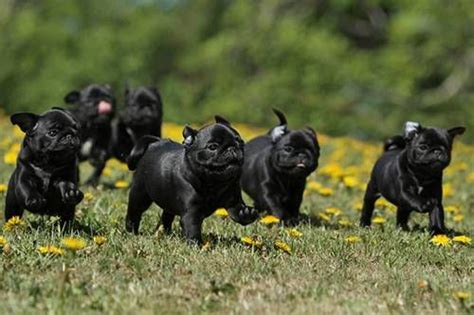 running pugs running of the pugs heavenly cutiepugs