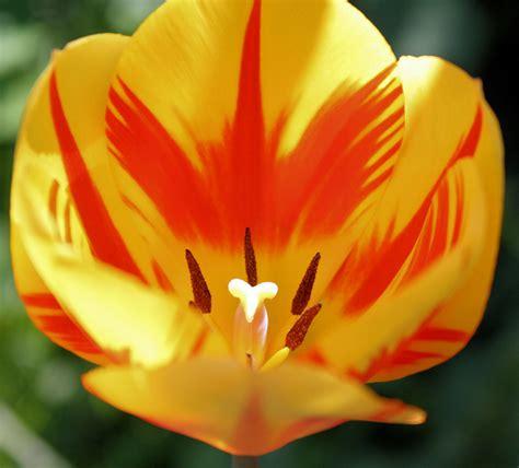 marc bennemann eine wunder sch 246 ne tulpe im garten meiner eltern bild