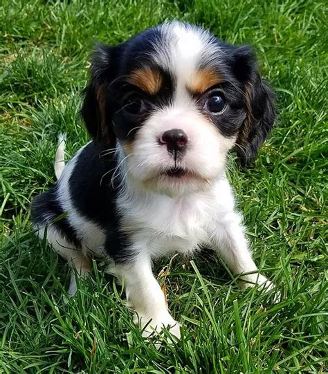puppies for sale bend oregon 17 best ideas about spaniel puppies for sale on cocker spaniel for sale