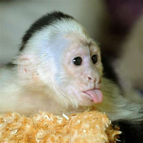 bieber pet monkey has new home world news express co uk