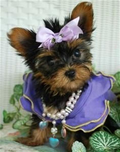 yorkie puppies for sale duluth mn pets duluth mn free classified ads