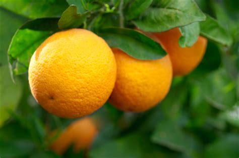 tree ripened fruit tree ripened florida oranges