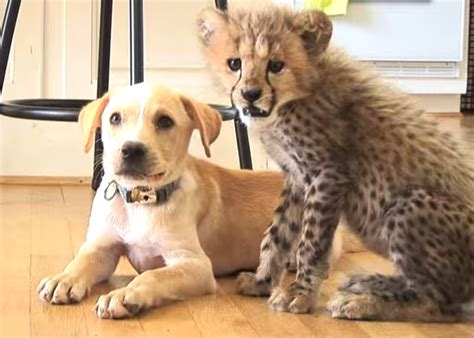 cheetah puppy cheetah and a puppy become best friends at metro richmond zoo