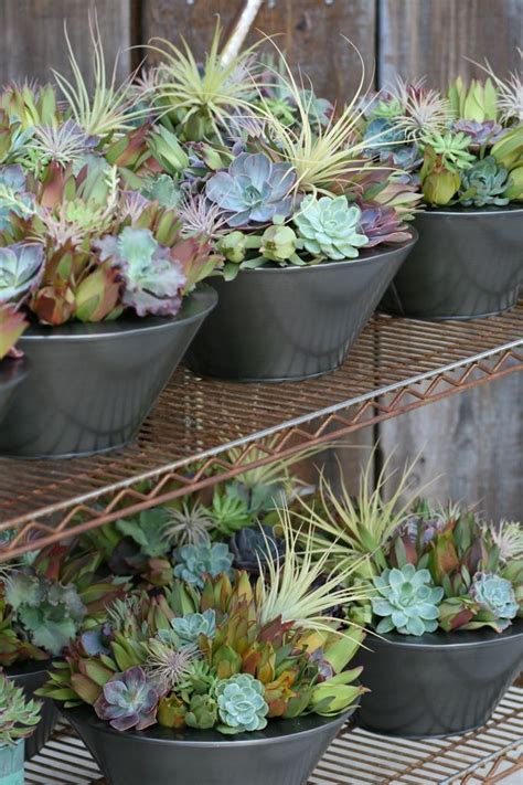 succulent arrangements succulent arrangements from flora grubb gardens my