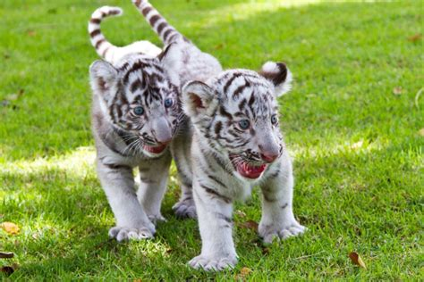 Baby White Tiger utterly mind boggling facts about the white bengal tiger