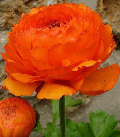 blütezeit ranunkel ranunkel orange blumenzwiebelnversand auf blumen de kaufen