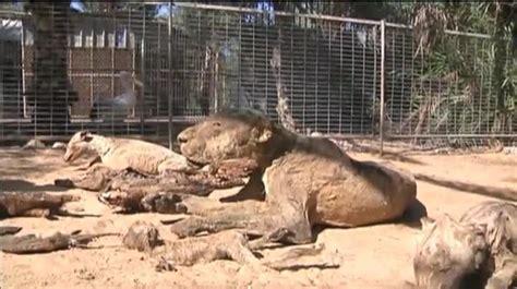 imagenes de animales del zoo los animales de un zoo de gaza mueren de hambre