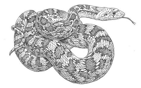 gopher snake coloring page pacific horticulture society garden allies reptiles