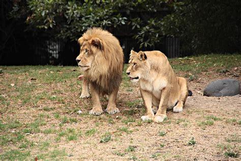 imagenes de leones reproduciendose le 243 n africano