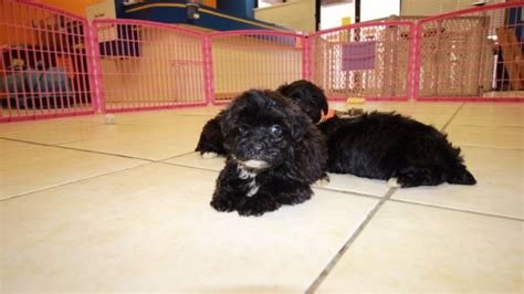 yorkie poos for sale in ga stunning yorkie poo puppies for sale in atlanta ga at puppies for sale