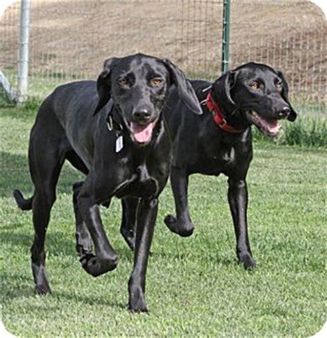 lab puppies sacramento rosalynn adopted sacramento ca labrador retriever weimaraner mix