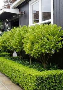 Garden Hedge Ideas Kumquat Trees Underneath Surrounded By Box Hedge Gardens House