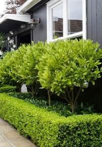 Backyard Hedge Ideas Kumquat Trees Underneath Surrounded By Box