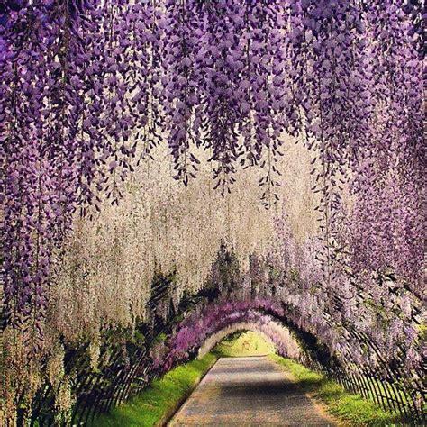 wisteria tunnels tokyo m 225 s de 25 ideas incre 237 bles sobre wisteria tunnel japan en