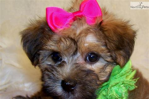 yorkie poo michigan meet a yorkiepoo yorkie poo puppy for sale for 699 sold