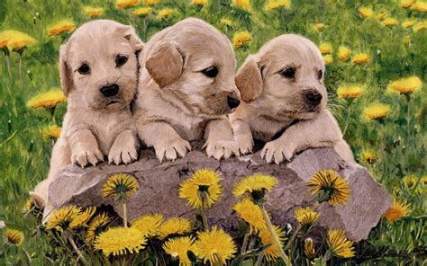 puppies pics sweethearts puppies wallpaper 22410120 fanpop