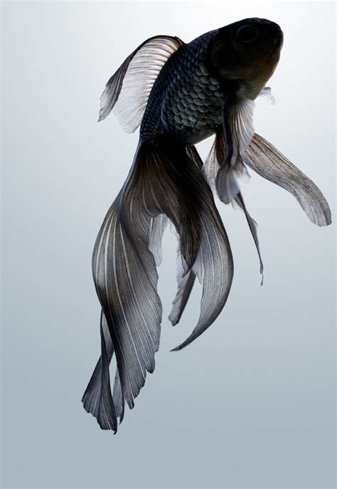 black fish tattoo black moor goldfish inspiration