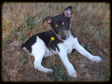 feist for sale mountain feist squirrel for sale breed dogs spinningpetsyarn