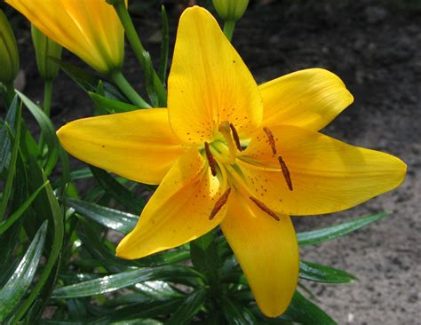 i fiore il seminatore i lilium