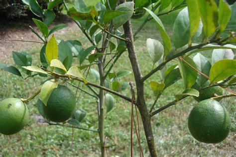 tree problems lemon trees problems garden guides