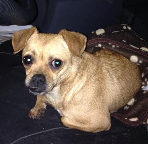 pug cross chiwawa molly 1 year pug cross chihuahua for adoption