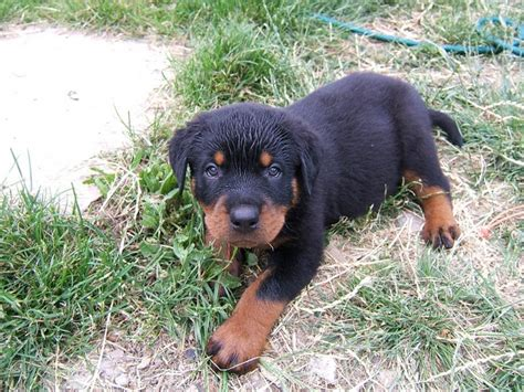 how much walking does a rottweiler need rottweiler a family 10 pics animal s look