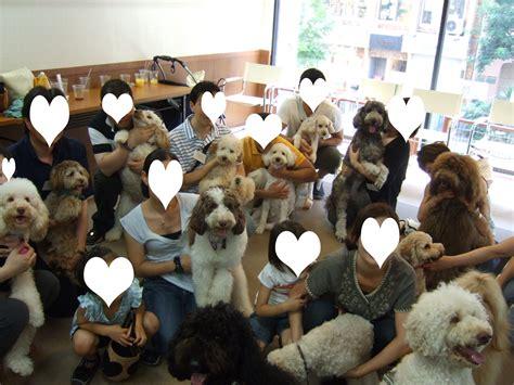 australian doodle club australian labradoodle club of tokyo オーストラリアン ラブラ