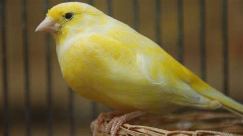 canarini riproduzione in gabbia come scegliere il canarino deabyday tv