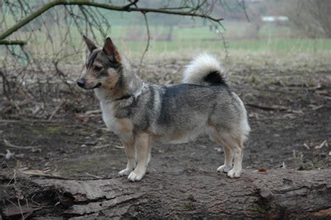 wolf corgi puppy swedish vallhund info temperament care puppies pictures