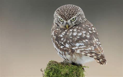 owl wallpaper for macbook little owl wallpaper 849435