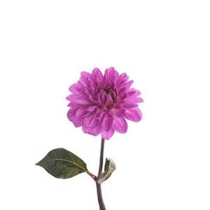 What Is A Dahlia Flower - purple dahlia flower dahlias types of flowers flower