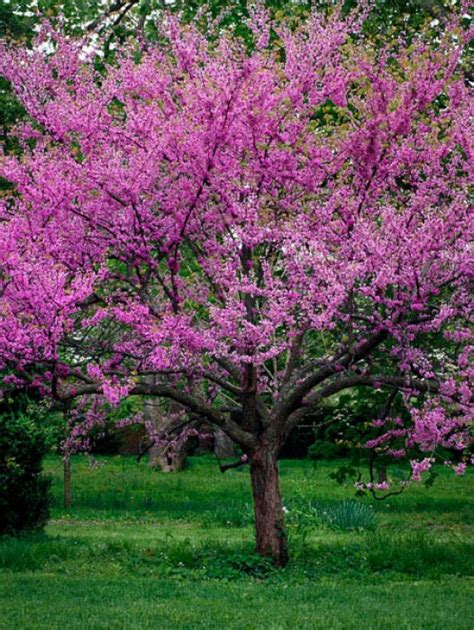 where to buy a tree buy oklahoma redbud trees l the tree center