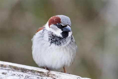 sparrow the canadian encyclopedia