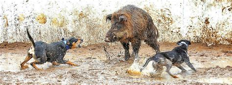 hogs and dogs choose a hog knife
